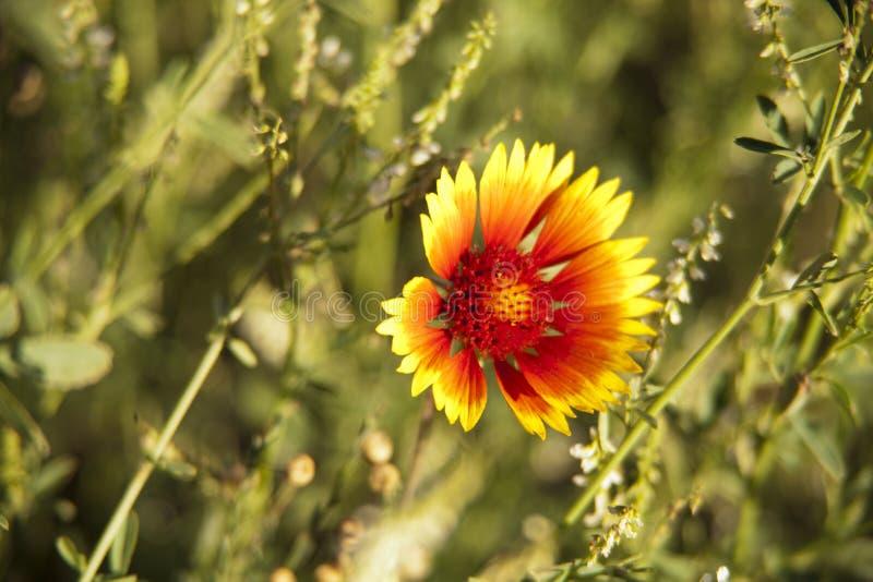 Sierra Nevada Wildflower stock photography