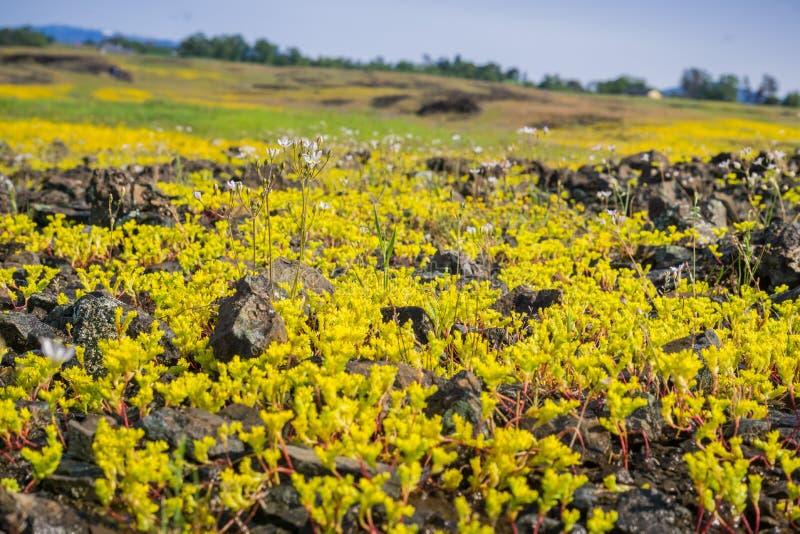 Sierra sedo di derisione (pumila di Sedella) che fiorisce sulla roccia del basalto della riserva ecologica della montagna del nor fotografia stock