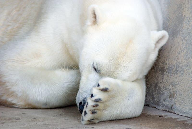 Siesta del oso polar imagenes de archivo