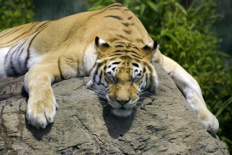 Siesta del tigre fotos de archivo libres de regalías