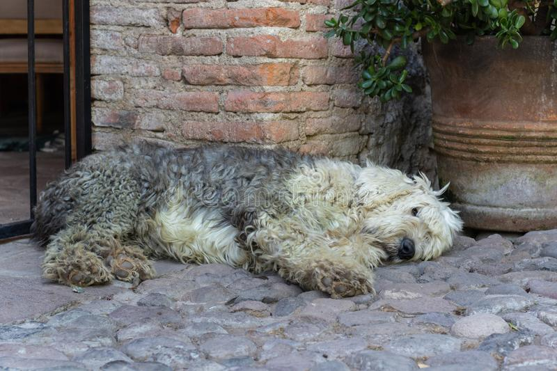 Siesta for Fido. A shaggy English Sheepdog lies on the cobblestone in a Mexican courtyard royalty free stock photo