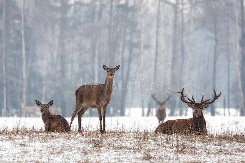 Siesta.Small Herd Of Noble Reindeer Red Deer,Cervus Elaphus,Cervidae Resting On A Hillock At Background Of Foggy Winter Forest stock photos