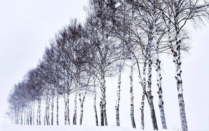 Siete árboles de la estrella en Hokkaido, Japón fotos de archivo