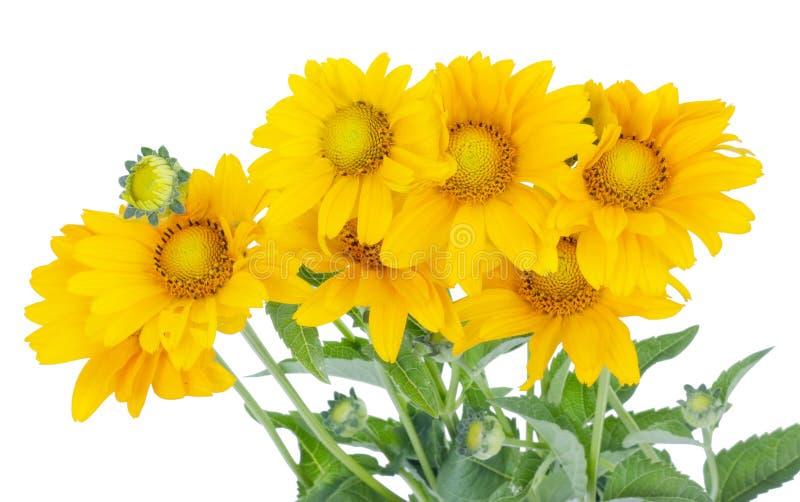 Siete pequeños girasoles amarillos florecen en la cama de julio imagen de archivo