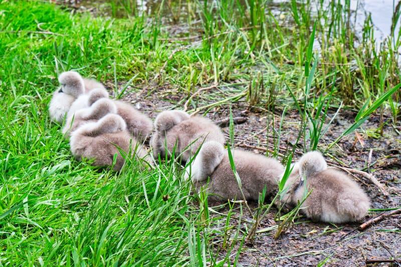 Siete pollos del cisne grises que toman una siesta en una pequeña isla en el lago Alexandru Ioan Cuza IOR en la ciudad de Bucares fotos de archivo libres de regalías