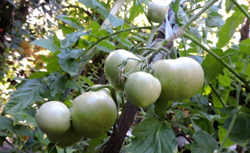 Siete tomates verdes maduran en el jardín fotos de archivo libres de regalías