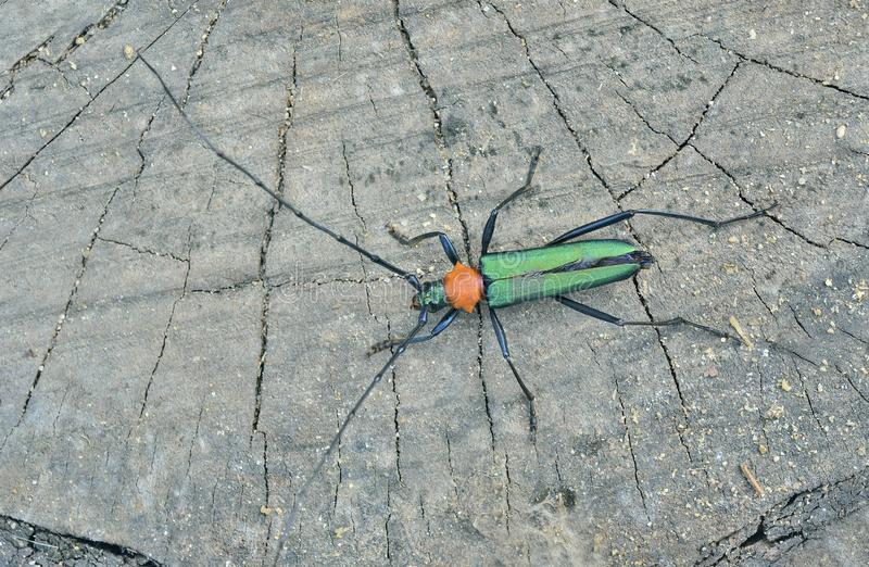 Sieversi de Chloridolum del escarabajo fotos de archivo libres de regalías
