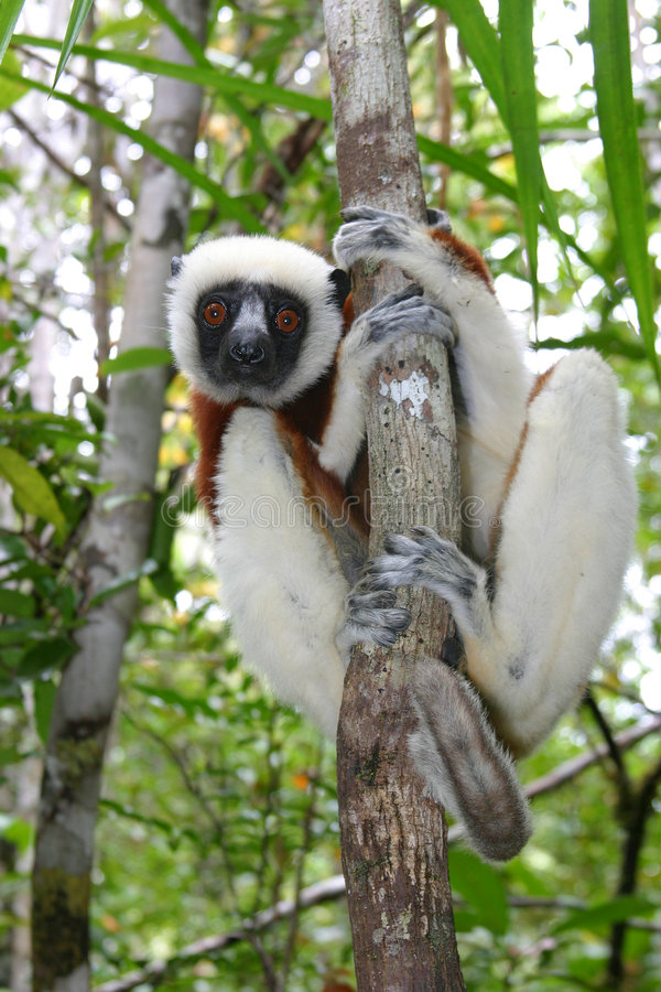 Sifaka de Coquerel photographie stock