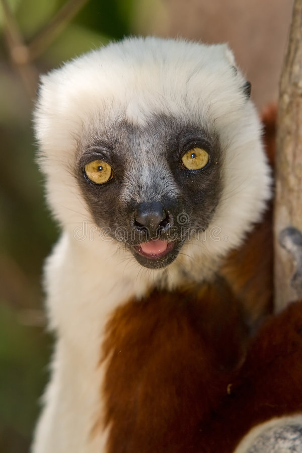Sifaka de Coquerel fotos de stock