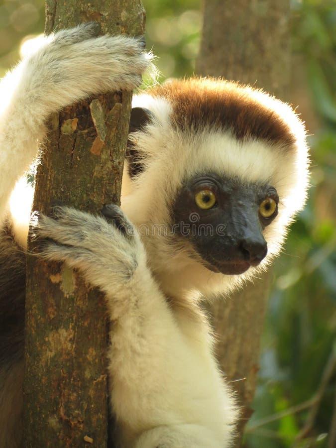 Sifaka lemur w Madagascar obrazy stock