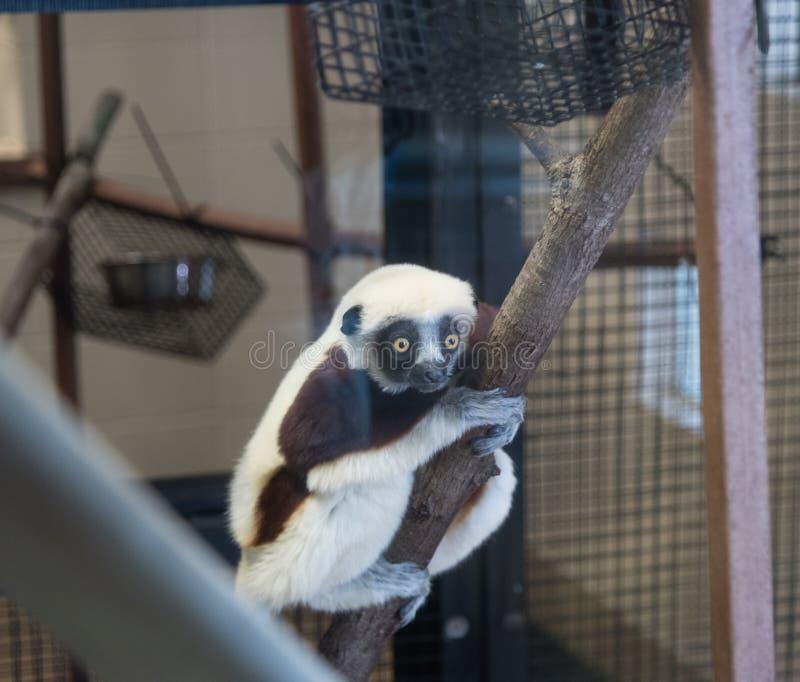 Sifaka maki på den Duke Lemur mitten arkivbild