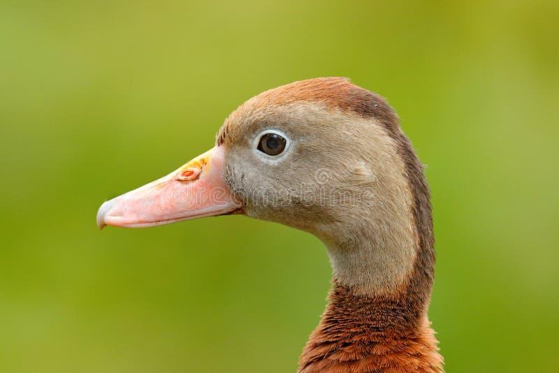 Siffler-canard Noir-gonflé, autumnalis de Dendrocygna, oiseau brun dans la marche de l'eau, animal dans l'habitat de nature, Cost photographie stock