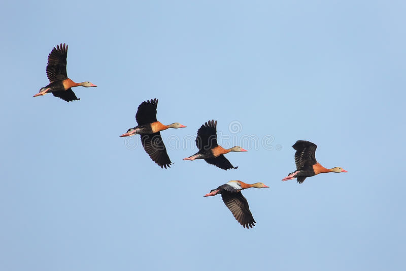 Siffler-canards Noir-gonflés volant en ciel bleu images libres de droits