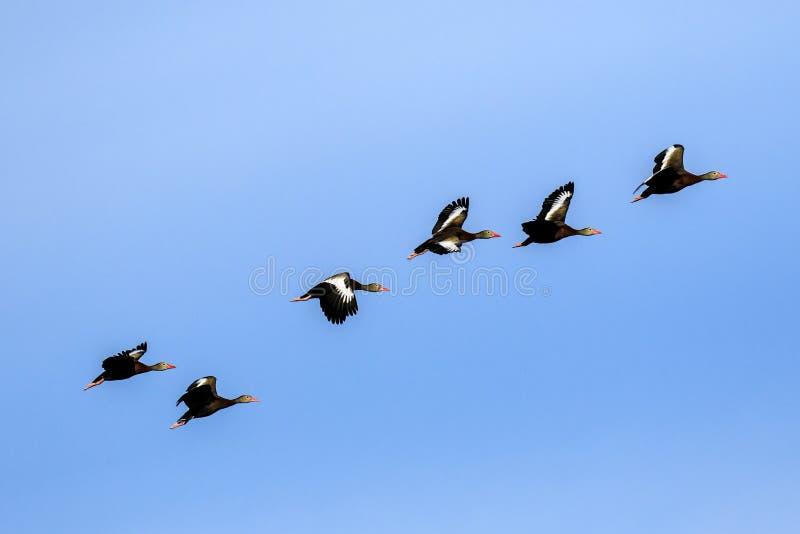 Siffler gonflé par noir se penche en vol photo libre de droits