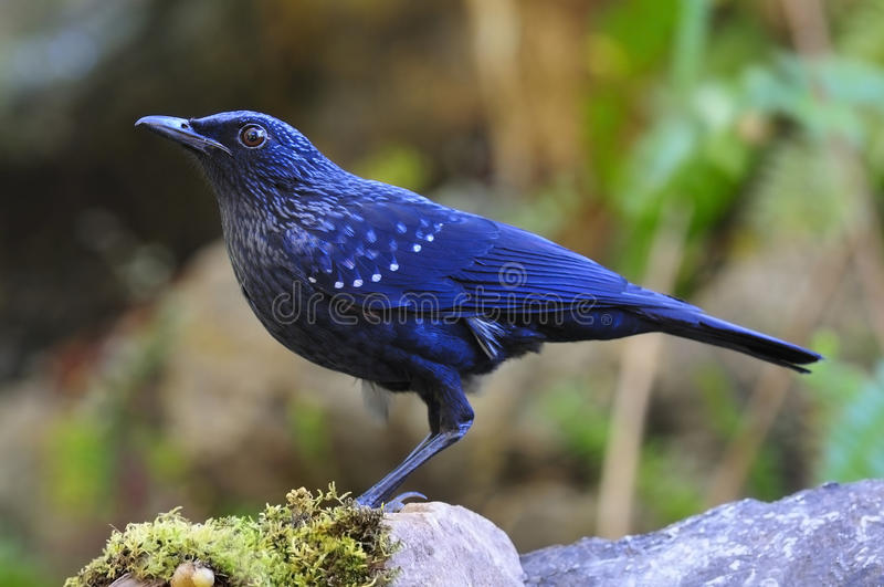 Siffler-grive bleue photo stock