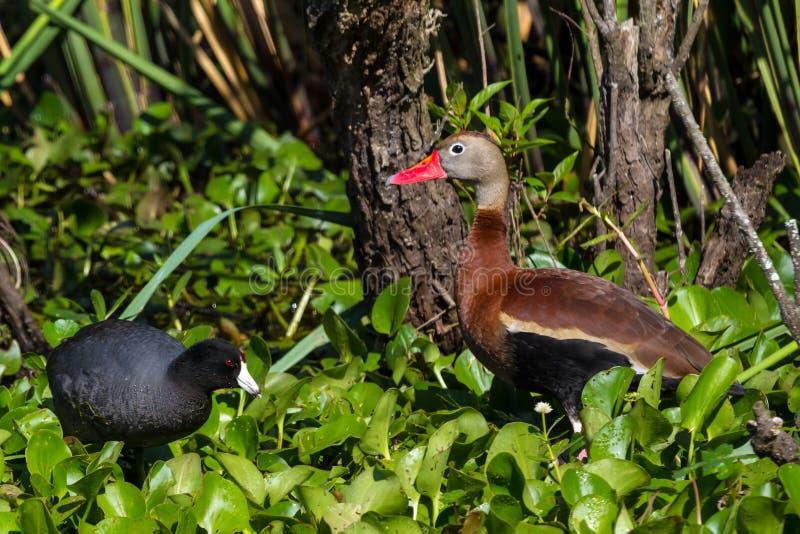 Siffler Noir-gonflé sauvage penche (des autumnalis de Dendrocygna) l'alimentation dans la jacinthe d'eau avec une foulque maroule  images stock