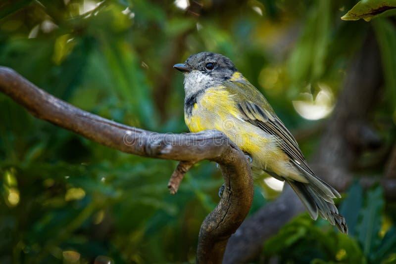 Siffleur d'or australien - le muscle pectoral de Pachycephala est des espèces d'oiseau trouvées dans la forêt, région boisée, mal photos libres de droits