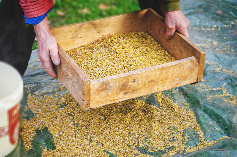 Sifting the grain through the sieve by hand. The farmer sifts the grain manually. Hands of the worker who sifts the grain of oats through a sieve. Hands of an royalty free stock photos