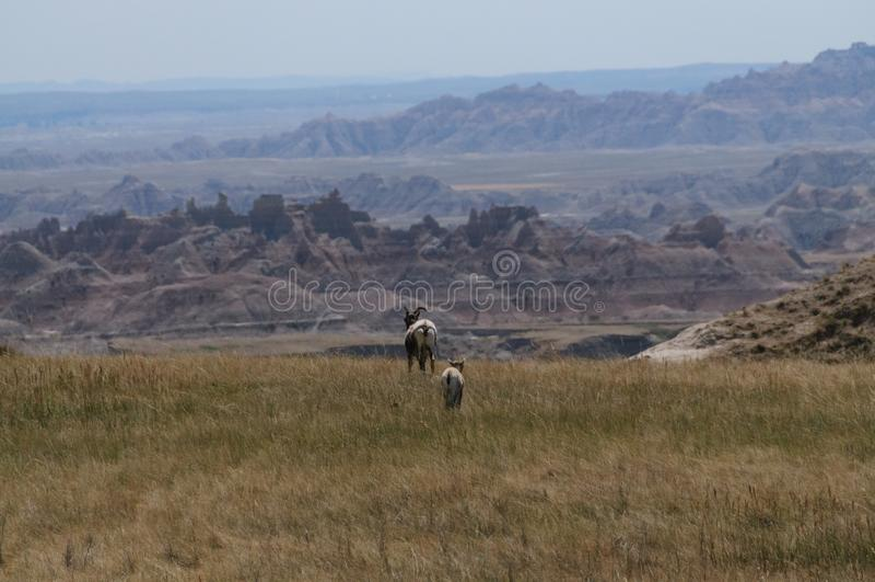 Sig Horn Sheep royalty-vrije stock foto