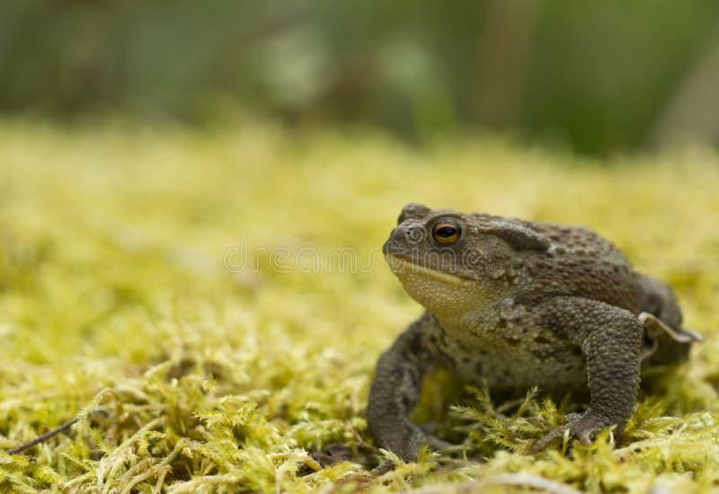Sig. Toad fotografia stock
