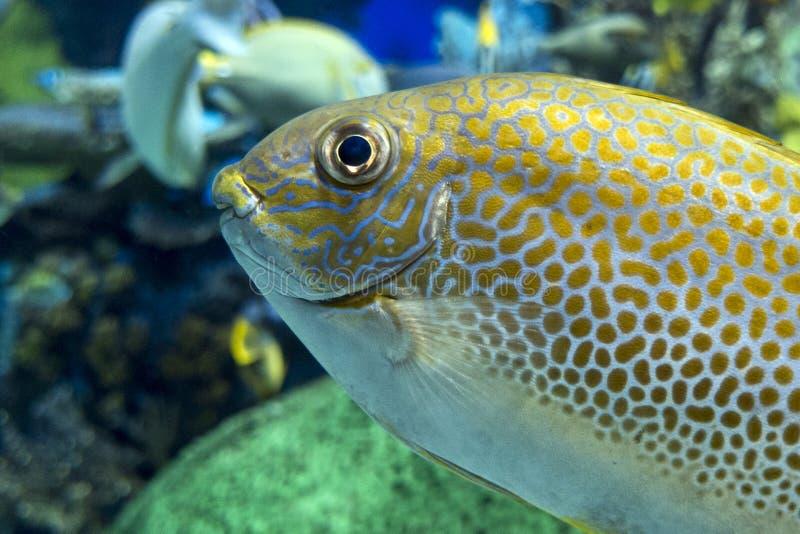 Siganus guttatus della chimera mostruosa del punto giallo - pesce di mare tropicale immagine stock libera da diritti
