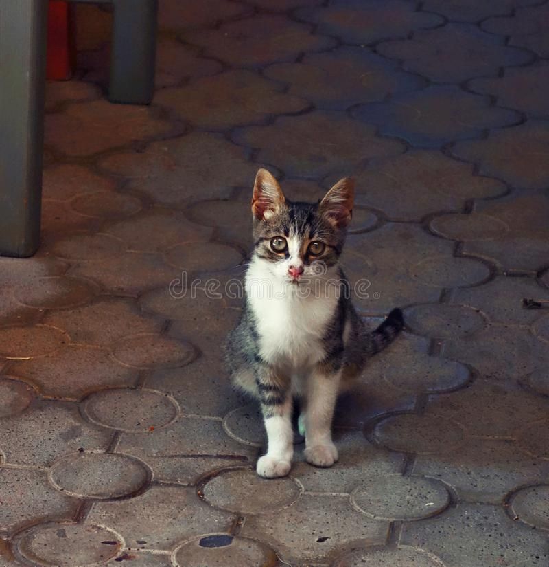 Sighisoar cat at street cafehouse royalty free stock images