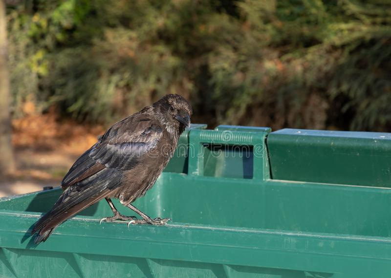 Sight of a black raven, a crow on the edge of a green plastic tank. Sight of a black raven, a crow on the edge of a green plastic  trash tank royalty free stock images