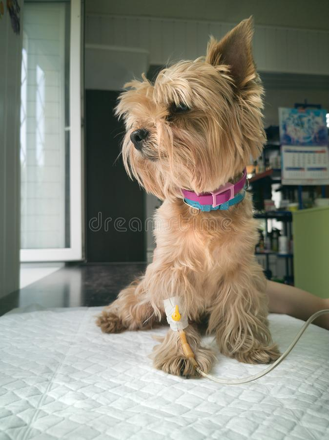 Sight of  yorkshire terrier with  drop counter  procedure stock photo