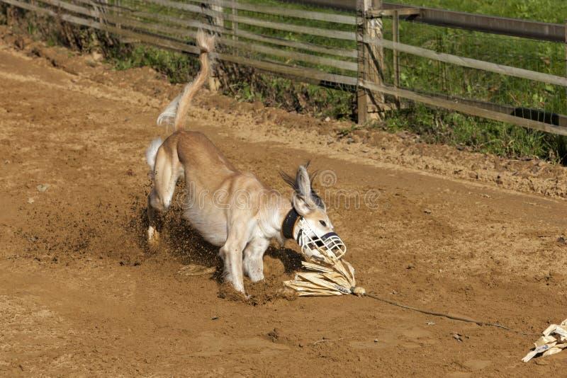 Sighthound de Saluki attrapant l'amorce sur une voie de course photos libres de droits