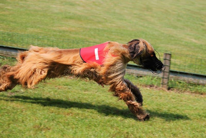 Sighthound race stock photography