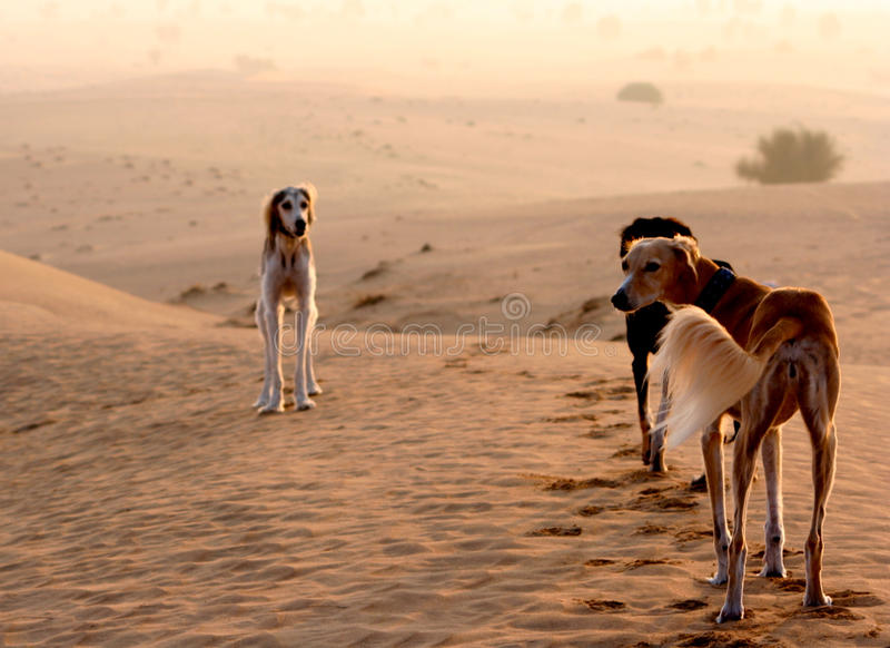 Sighthounds, Salukis nel deserto arabo immagine stock
