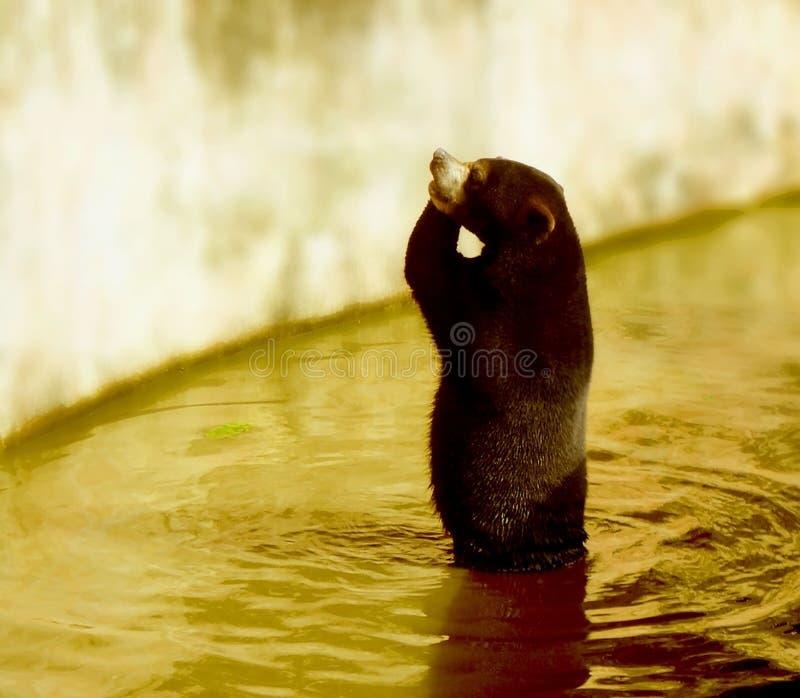 Sightings of black bears, wild animals. Blackbear, river, water, wildlife royalty free stock photography
