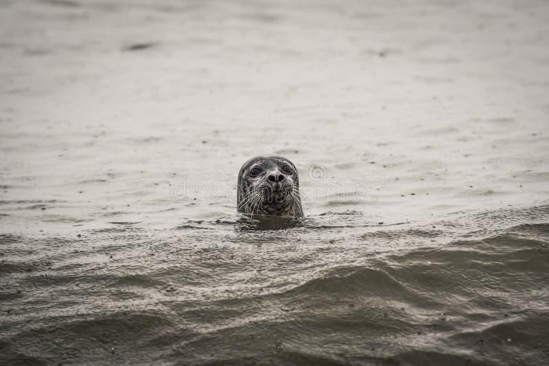 Sigilli l'esame dell'acqua nell'oceano fuori dalla costa dell'Islanda fotografia stock