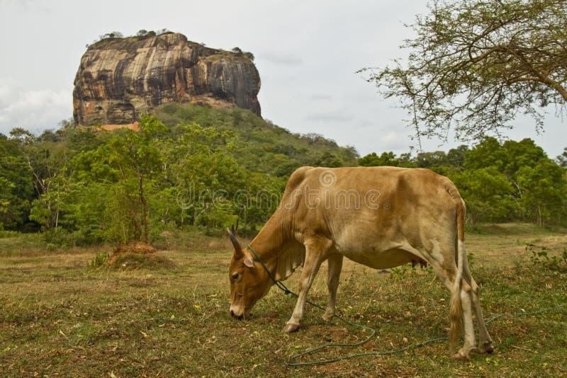 Sigiryia,斯里兰卡狮子岩石  在前景的母牛 库存照片
