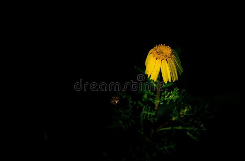 Sigle drooping or wilting yellow Coreopsis flower royalty free stock photos