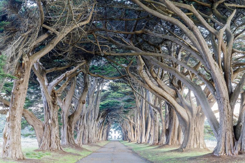 Signature Cypress Tree Tunnel in Inverness. Signature `tree tunnel` of Monterey Cypress near Inverness at Point Reyes National Seashore, Marin County royalty free stock photos