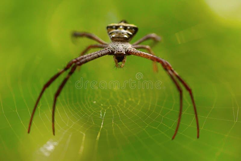 Signature spider, Argiope sp , Goa, INDIA. Spiders of genus Argiope are often found in gardens royalty free stock images