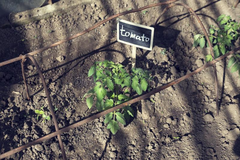 Signboard for Tomato seedling in a greenhouse. Tomato stem. Sunny day royalty free stock images