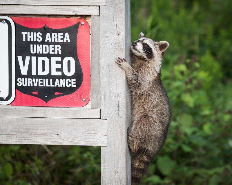Signe masqué de sécurité de surveillance de Raccoon Climbing Video de bandit photos libres de droits