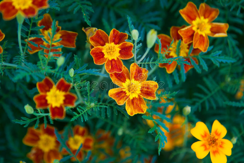 Signet Marigold flower royalty free stock image