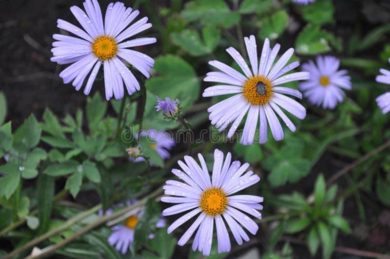Significado de la flor del aster fotografía de archivo libre de regalías