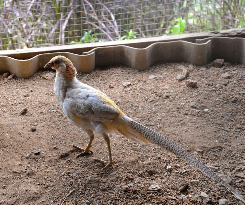 Signora Amherst Pheasant immagine stock libera da diritti
