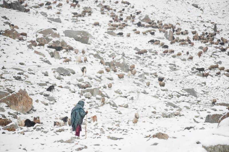 Signora anziana ed animali che pascono nelle aree di alte montagne di Karakoram fotografia stock libera da diritti
