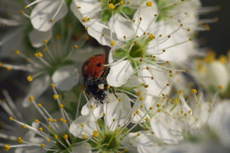 Signora Bug sull'albero sbocciato - natura morta fotografia stock
