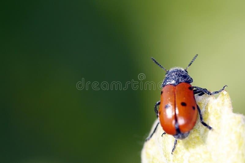 Signora Bug0272 fotografie stock