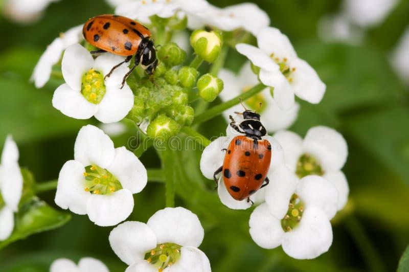 Download Signora Bugs immagine stock. Immagine di foglio, scarabeo - 7302927