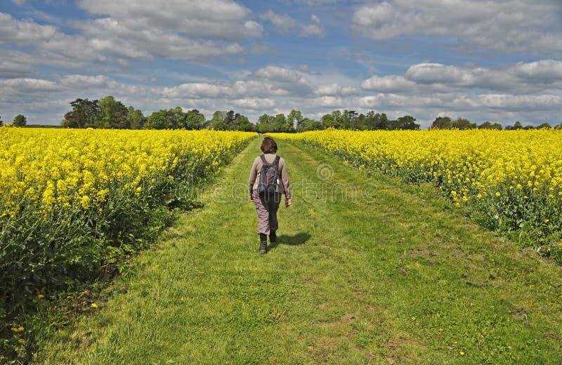 Signora che cammina fra i campi del seme di ravizzone giallo fotografie stock