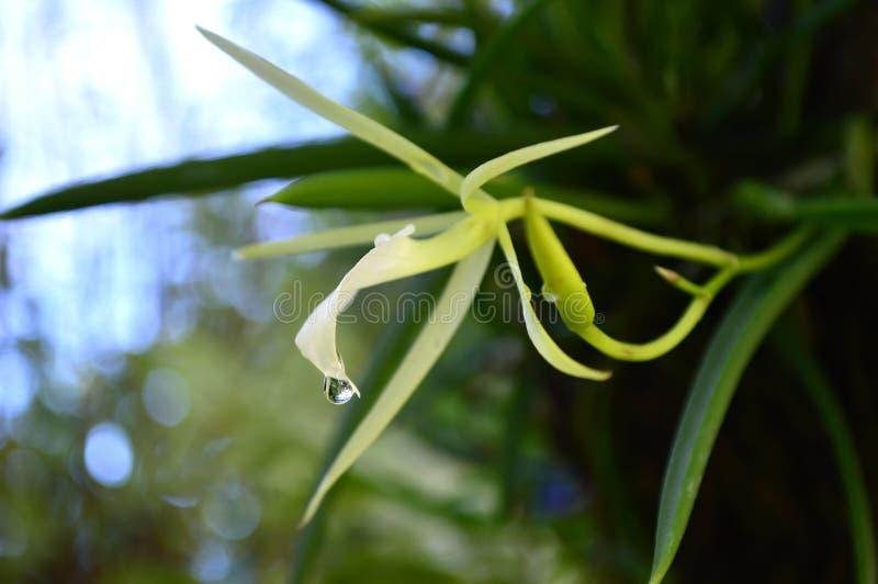 Signora dell'orchidea di notte immagine stock