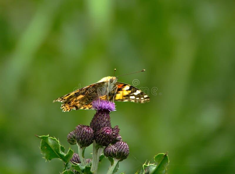 Signora dipinta Butterfly sul fiore immagini stock libere da diritti