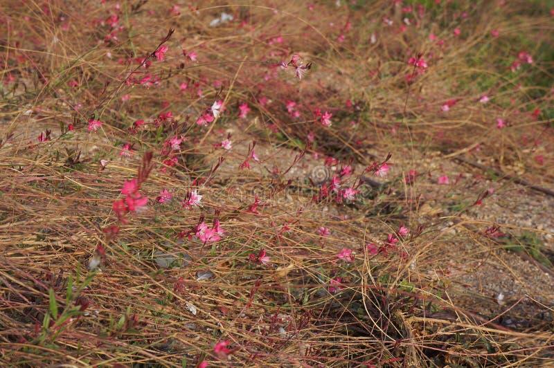 Signora rosa di lindheimeri di Gaura in fioritura, vaga espressamente immagini stock libere da diritti